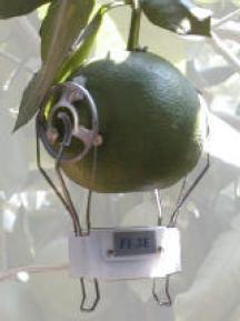 FI-LM Large Fruit Growth Sensor